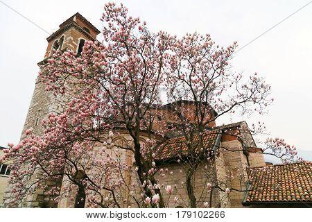 Magnolia Tree And San Lorenzo