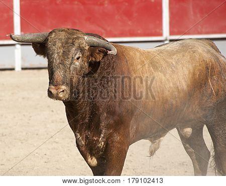 Toro en una plaza de toros. Tipica y tradicional fiesta española
