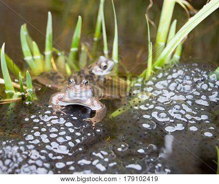 Couple of Frogs laying Frogspawn in a pond.