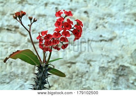 Red Cactus Flowers Against White Adobe Wall
