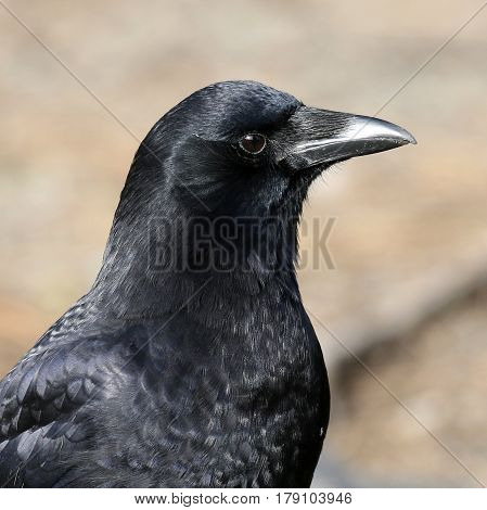 Close up profile of an American Crow