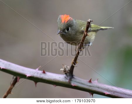 A Ruby-crowned Kinglet on a branch with crown showing