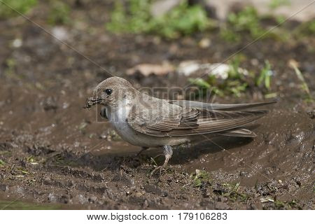 Eurasian crag martin collecting mud for its nest