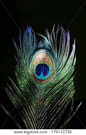 Peacock feathers. Peacock. Carnival.
