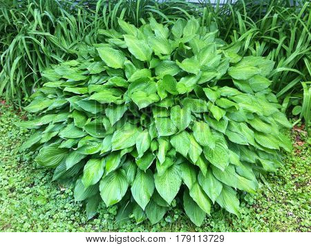 A beautiful, six foot wide healthy Hosta in my front yard.