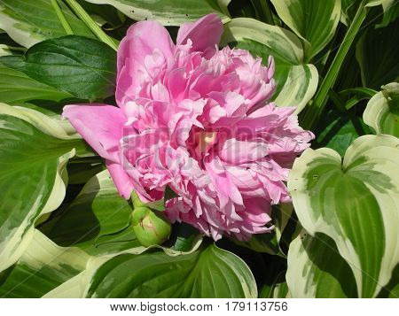 A pink Peony resting on a Variegated Hosta