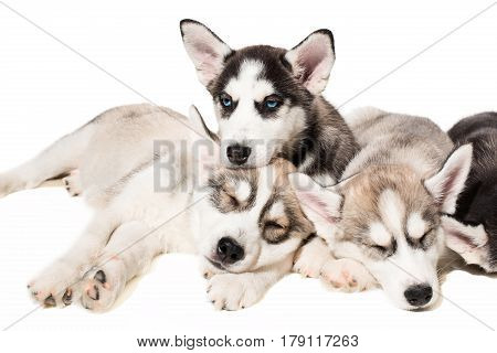 Group of puppies breed the Huskies isolated on white background. The most charismatic puppies. Everybody sleep, but one wakes
