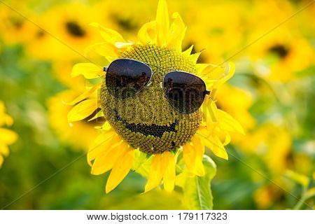 Funny sunflower with sun glasses on the field of sunflowers smiling