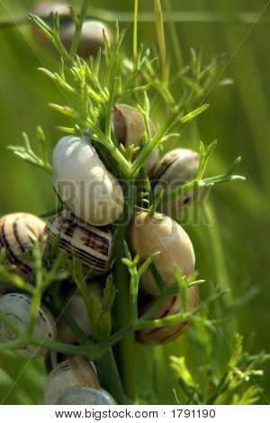 Fennel With Snails