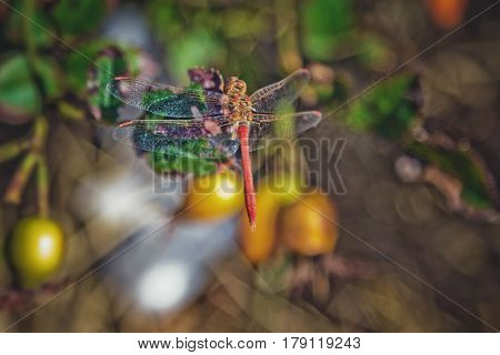 Red dragonfly on a branch of briar with ripe rose hips