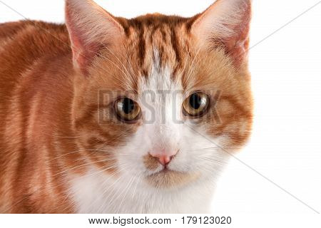 portrait of red cat looking at the camera isolated on white background.