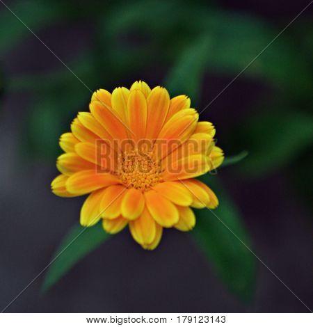 detail of a single Calendula officinalis flower