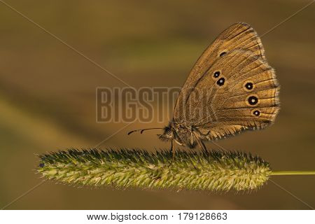 Brown butterfly in the sunset light macro