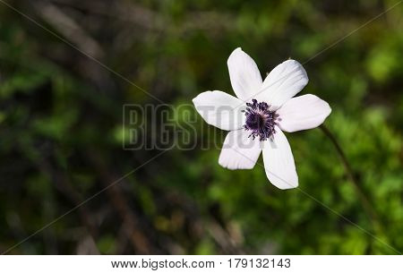 Stamen of a white anemone coronaria wild flower isolated in a green natural background