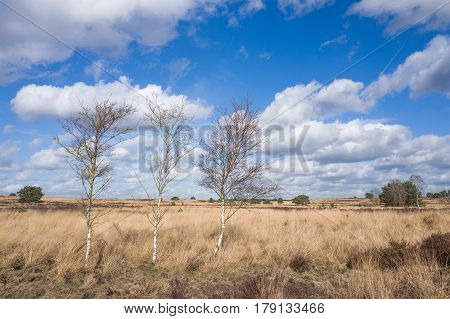 Birch trees on the heath in Elspeet Netherlands.