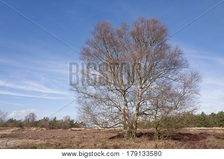 Birch tree on the heath in Elspeet Netherlands.