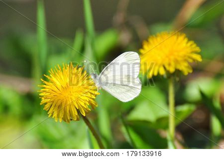 Leptidea sinapis butterfly close-up on a dandelion flower. The Wood White butterfly in spring