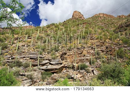 A mountain of saguaro cactus in Bear Canyon in Sabino Canyon Recreation Area Park in the Sonoran Desert along the Santa Catalina Mountains in Tucson, Arizona.