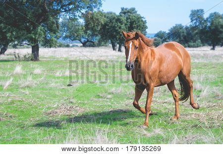 Brown horse galloping in the field. Domestic Horse.