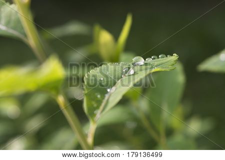 Raindrops on the leaf close-up image. Dew droplets on green leaves
