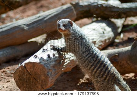 View of a striped mongoose in an enclosure of an animal park in France