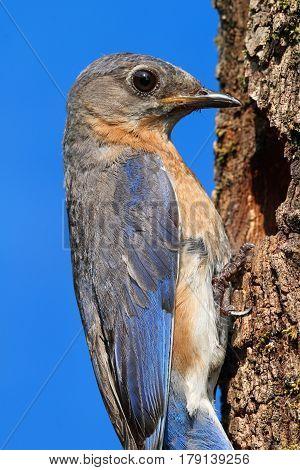 Male Eastern Bluebird (Sialia sialis) by a nest hole