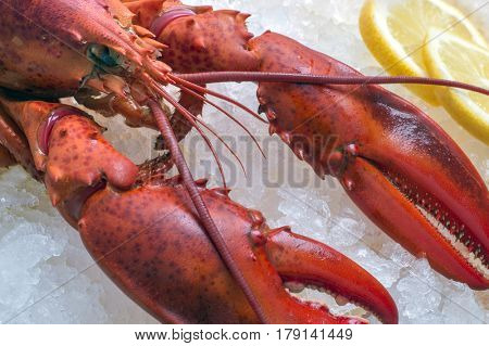 Lobster on ice, close up