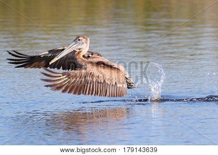 Brown Pelican (Pelecanus occidentalis) fishing in the Florida Everglades