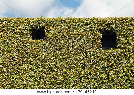 Building Facade Covered in Climbing Vegetation with two open windows