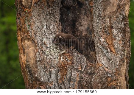 Fisher (Martes pennanti) Kit in Hollow of Tree - captive animal