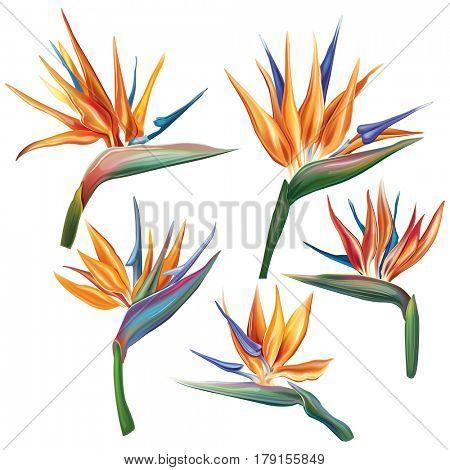 Strelitzia reginae flower (bird-of-paradise, crane flower).