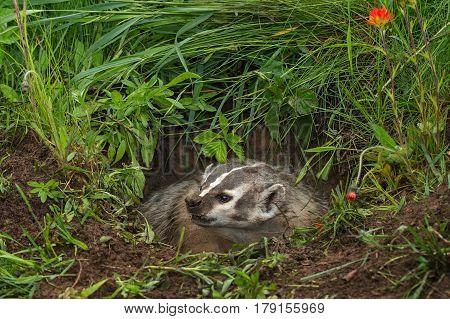 North American Badger (Taxidea taxus) Looks Left Teeth Bared - captive animal