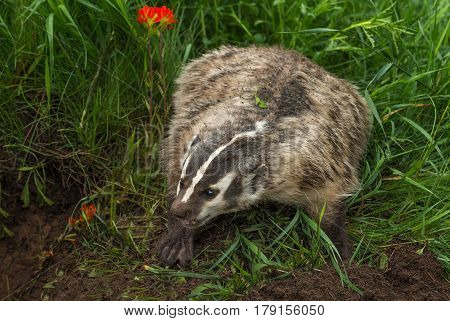 North American Badger (Taxidea taxus) Bluff Charges - captive animal