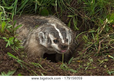 North American Badger (Taxidea taxus) Sticks Out Tongue - captive animal
