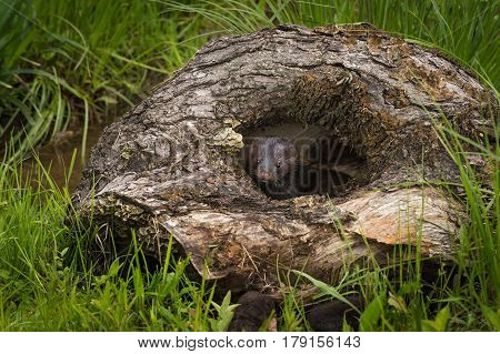 Adult American Mink (Neovison vison) Peers Out of Hole in Log - captive animals