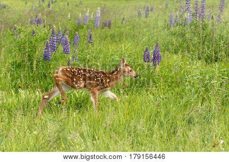 White-Tailed Deer Fawn (Odocoileus virginianus) Walks Right Through Field - captive animal