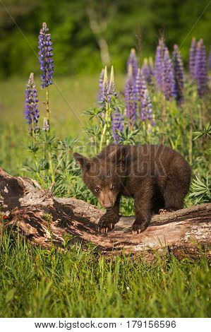 Black Bear Cub (Ursus americanus) Stands Atop Log - captive animal