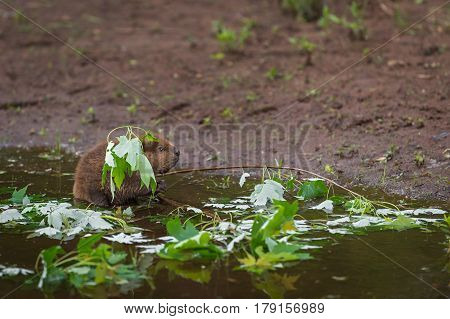North American Beaver Kit (Castor canadensis) Fishing - captive animal