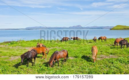 Icelandic Horses On A Meadow Near Beautiful Landscape Of A Famous Tourist Place - Lake Myvatn In Ice