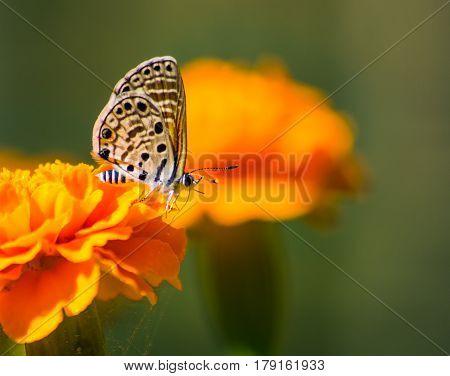 Azanus jesous - African babul blue - topaz-spotted blue on a Marigold Flower