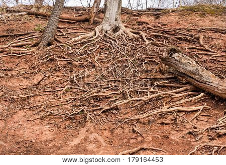 Tree roots growing in a tangle on top of the dry ground spreading out