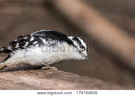 Closeup portrait of a downy woodpecker on wooden fence post head cocked to side food crumbs on beak