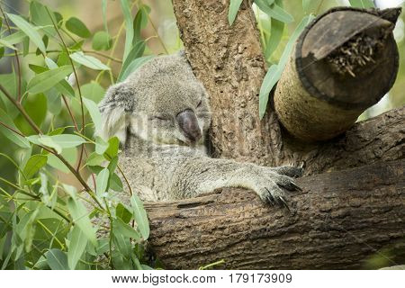 Australian koala bear sitting on a branch