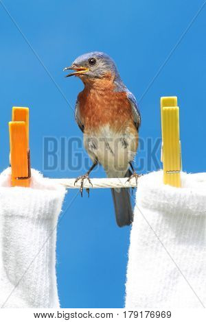 Male Eastern Bluebird (Sialia sialis) on a clothes line with laundry with a blue background