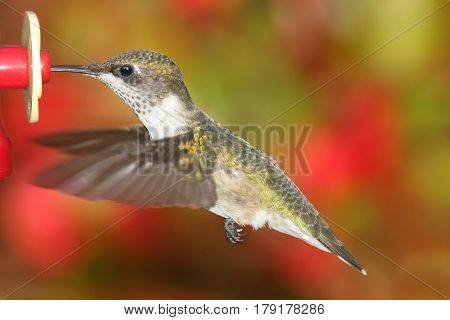 Juvenile Ruby-throated Hummingbird (archilochus colubris) in flight at a feeder with a colorful flowers in the background