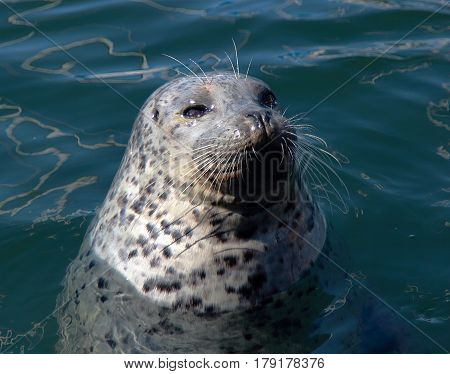 Seal in the water. Vancouver Island, Canada.
