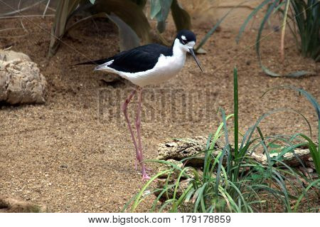 Black Necked Stilt bird with long legs