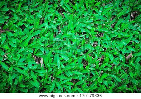 Sward , grass background , Green grass background texture