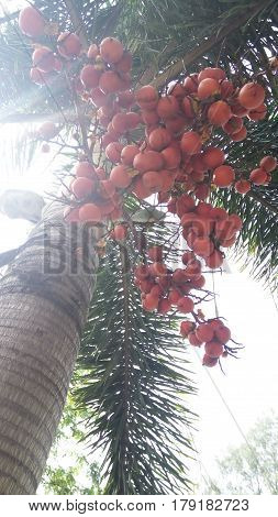 A thick growth of betel nut in yard