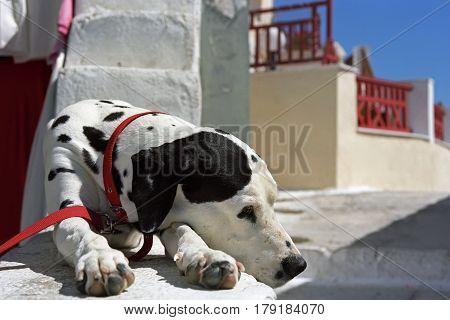 Dalmatian dog is basking in the morning sun, Oia village, Santorini island, Greece.